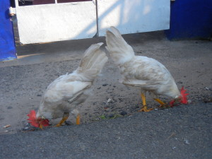 Roosters in India