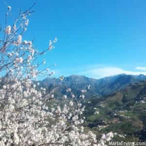 almond trees in full bloom spain